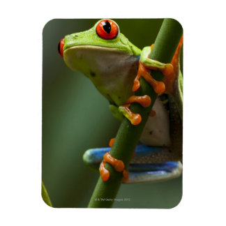 Costa Rica, Monteverde, Red-Eyed Tree Frog Magnet