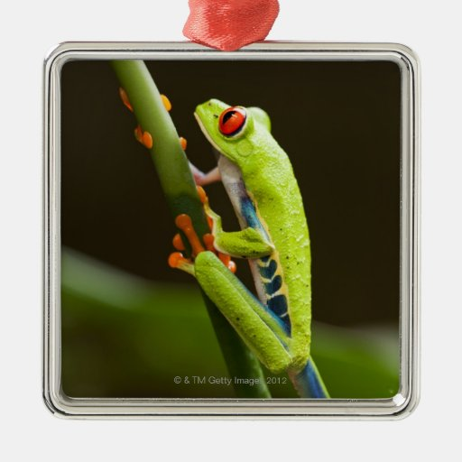 Costa Rica, Monteverde, Red-Eyed Tree Frog Christmas Tree Ornaments