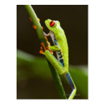Costa Rica, Monteverde, Red-Eyed Tree Frog Post Card