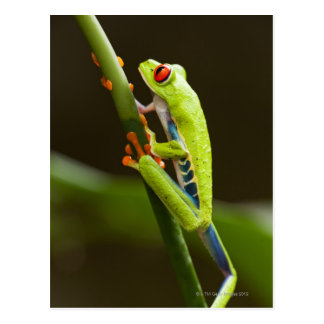 Costa Rica, Monteverde, Red-Eyed Tree Frog Postcard