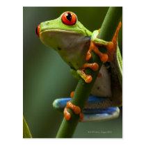 Costa Rica, Monteverde, Red-Eyed Tree Frog Postcard