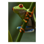 Costa Rica, Monteverde, Red-Eyed Tree Frog Poster