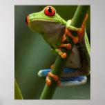 Costa Rica, Monteverde, Red-Eyed Tree Frog Print