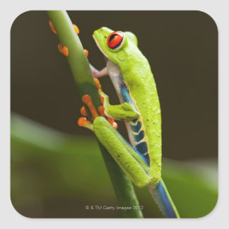 Costa Rica, Monteverde, Red-Eyed Tree Frog Square Sticker