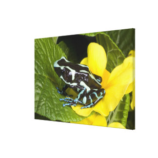 Costa Rica, Osa Peninsula. Close-up of poison Gallery Wrap Canvas