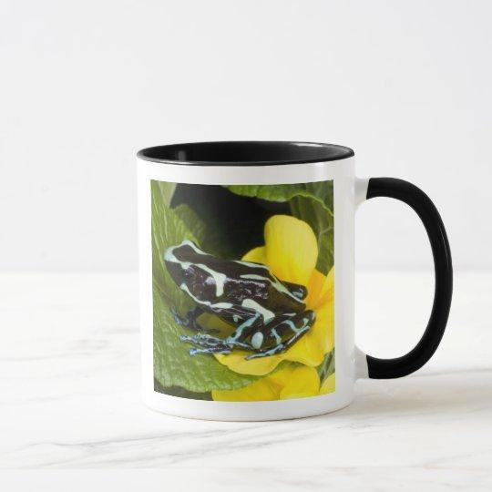 Costa Rica, Osa Peninsula. Close-up of poison Mug