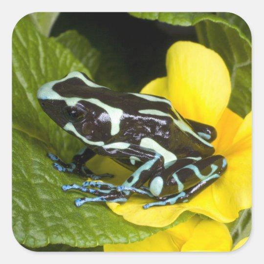 Costa Rica, Osa Peninsula. Close-up of poison Square Sticker