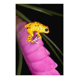 Costa Rica. Primer de la rana del dardo del veneno Fotografía