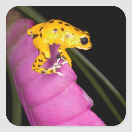 Costa Rica. Primer de la rana del dardo del veneno Calcomania Cuadradas Personalizadas