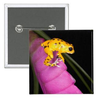 Costa Rica. Primer de la rana del dardo del veneno Pin Cuadrado