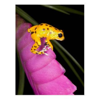 Costa Rica. Primer de la rana del dardo del veneno Postales