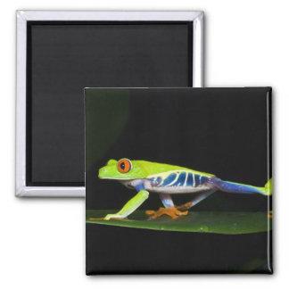 Costa Rica, Red-eyed Tree Frog (Agalychnis Magnet
