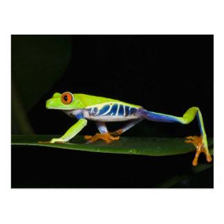 Costa Rica, Red-eyed Tree Frog (Agalychnis Postcard