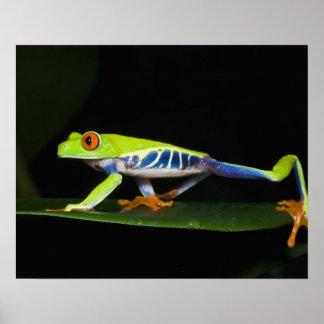 Costa Rica, Red-eyed Tree Frog (Agalychnis Print