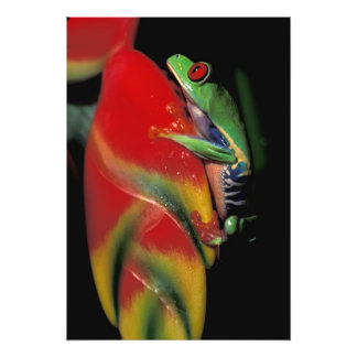 Costa Rica Red Eyed Tree Frog Photo Art