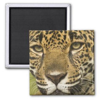 Costa Rica. Retrato del onca del Panthera de Jagua Imán Cuadrado