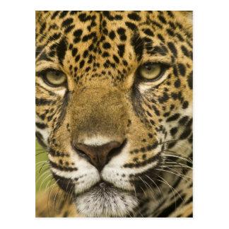 Costa Rica. Retrato del onca del Panthera de Postal