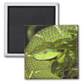 Costa Rica. Striped Palm Viper Bothriechis 2 Inch Square Magnet