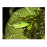 Costa Rica. Striped Palm Viper Bothriechis Post Cards