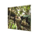 Costa Rica, Two monkeys resting on tree, lying Canvas Print