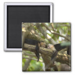 Costa Rica, Two monkeys resting on tree, lying 2 Inch Square Magnet