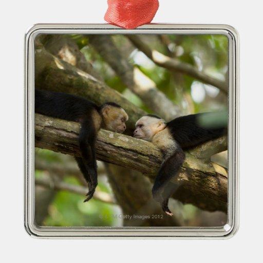Costa Rica, Two monkeys resting on tree, lying Square Metal Christmas Ornament