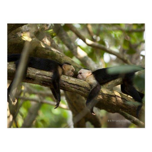 Costa Rica, Two monkeys resting on tree, lying Postcard