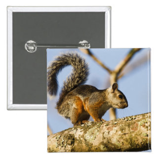 Costa Rica. Variegated squirrel Sciurus 2 Inch Square Button