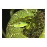 Costa Rica. Víbora rayada Bothriechis de la palma Fotografía