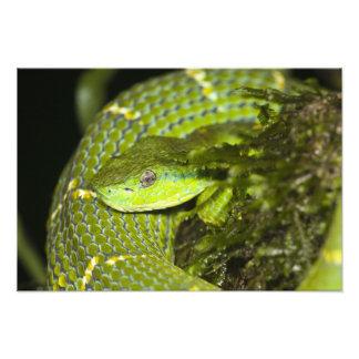 Costa Rica Víbora rayada Bothriechis de la palma Impresion Fotografica