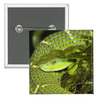 Costa Rica. Víbora rayada Bothriechis de la palma Pin Cuadrada 5 Cm