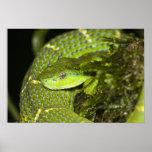 Costa Rica. Víbora rayada Bothriechis de la palma Póster