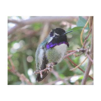 Costa s Hummingbird Canvas Print