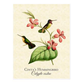 Costa's Hummingbird Art Postcard