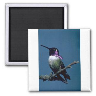 Costa's hummingbird, Calypte costae, Sacremento, U 2 Inch Square Magnet