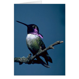 Costa's hummingbird, Calypte costae, Sacremento, U Greeting Card