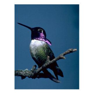 Costa's hummingbird, Calypte costae, Sacremento, U Postcard