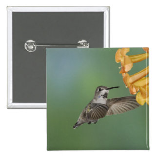 Costa's Hummingbird, Calypte costae, young 2 Inch Square Button