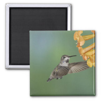 Costa's Hummingbird, Calypte costae, young 2 Inch Square Magnet