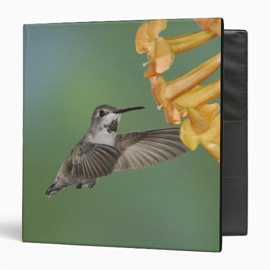 Costa's Hummingbird, Calypte costae, young Binder