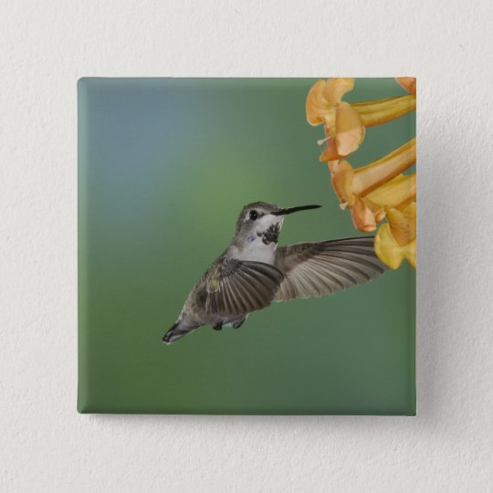 Costa's Hummingbird, Calypte costae, young Button