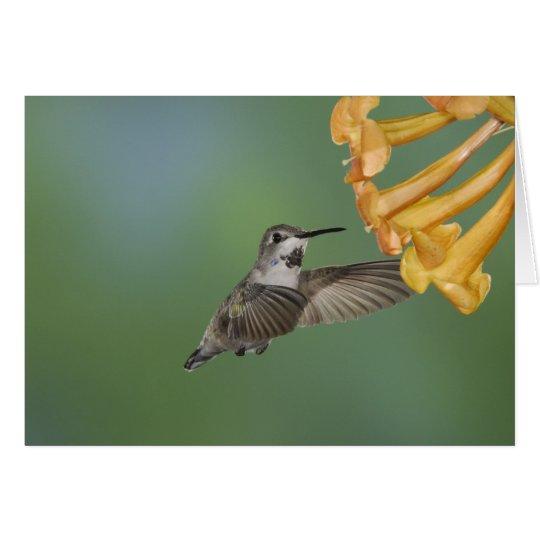 Costa's Hummingbird, Calypte costae, young Card