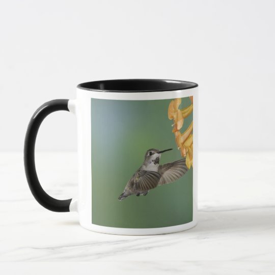 Costa's Hummingbird, Calypte costae, young Mug