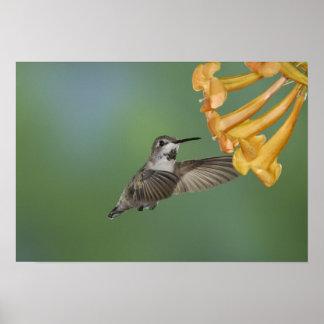 Costa's Hummingbird, Calypte costae, young Print