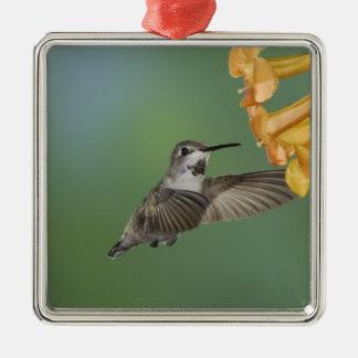 Costa's Hummingbird, Calypte costae, young Square Metal Christmas Ornament