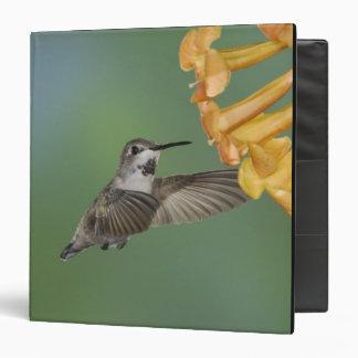 Costa's Hummingbird, Calypte costae, young Vinyl Binders