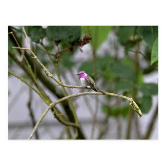 Costa's Hummingbird Post Card