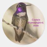Costa's Hummingbird Round Sticker