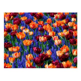 Cotillion del jardín del tulipán del jacinto postales