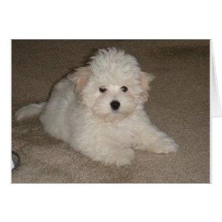 Coton_de_Tulear_puppy.png Card